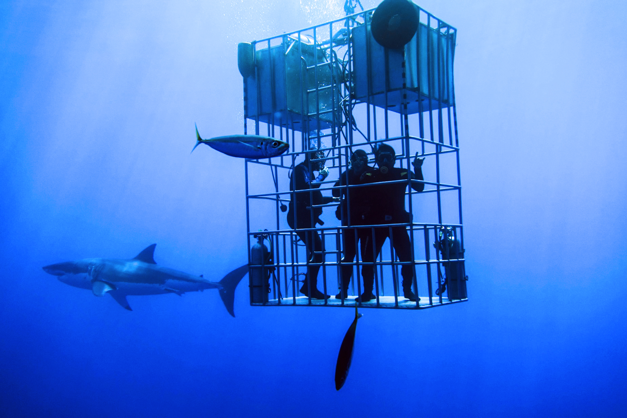 Divers check out a great white from a submersible cage.