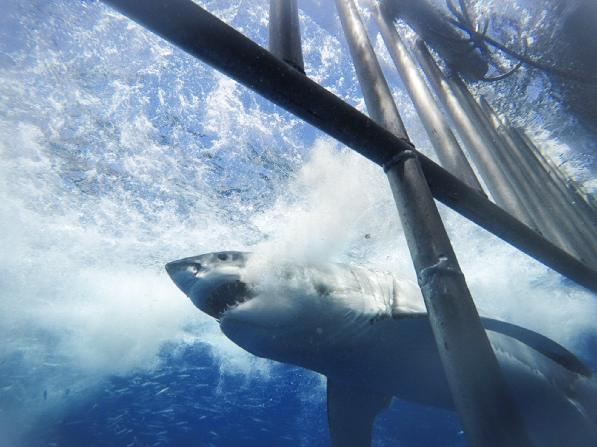 A great white in Guadalupe passes close to the surface cage