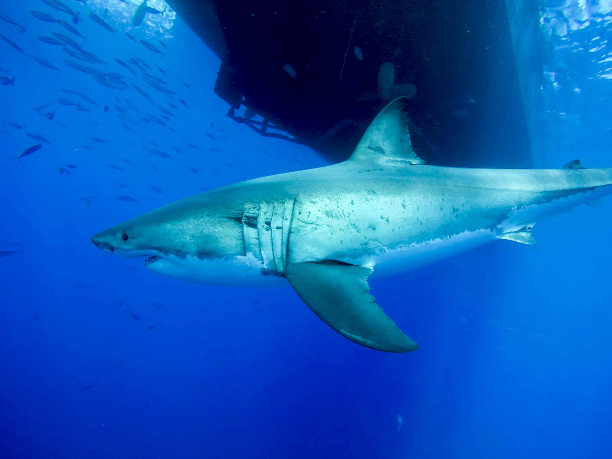 A shark swims under a hull
