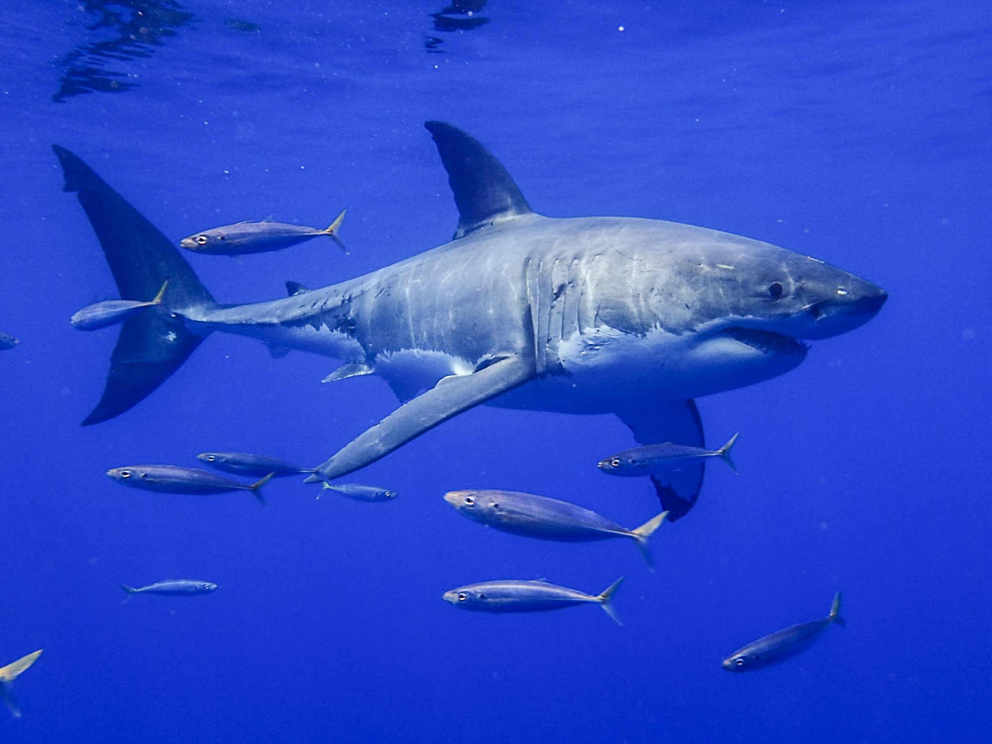 A large great white swims through the blue