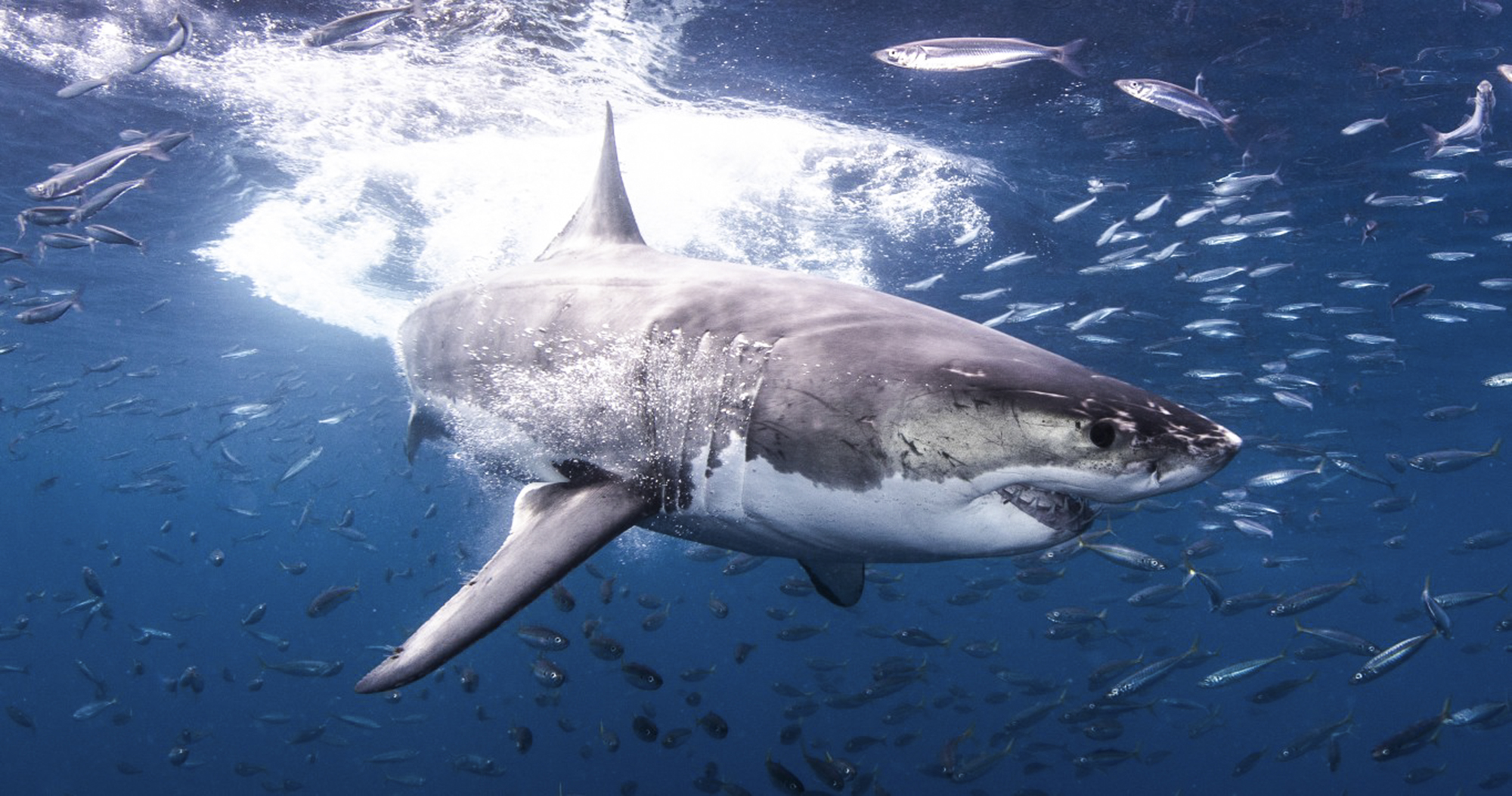 Stunning great white at Guadalupe
