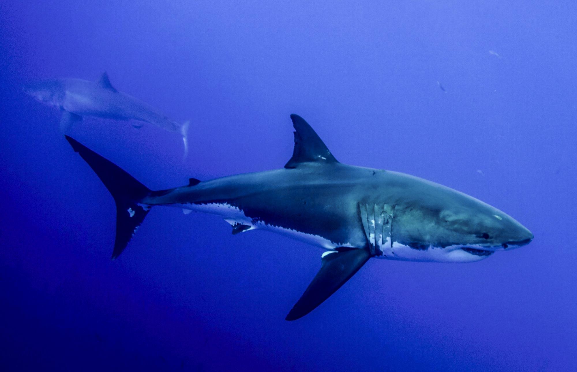 The great white shark Joker