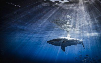 Shark in a sunbeam, Photo by Scott Davis