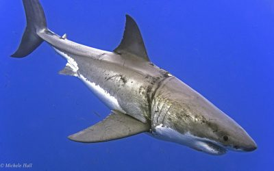 A great white dives at Guadalupe, Photo ©Michele Hall