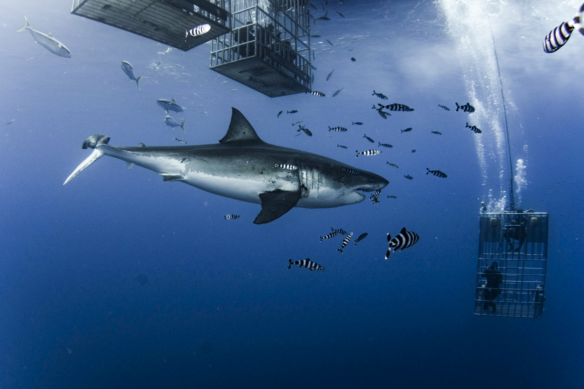 Lucy, a female great white with a broken tail. Photo by divemaster Mirko