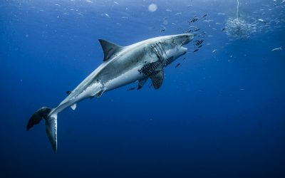 Lucy the great white shark goes for the tuna