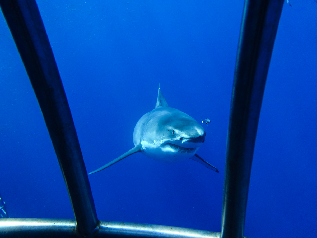 A great white peeks through the cage! Photo by Christine Codner