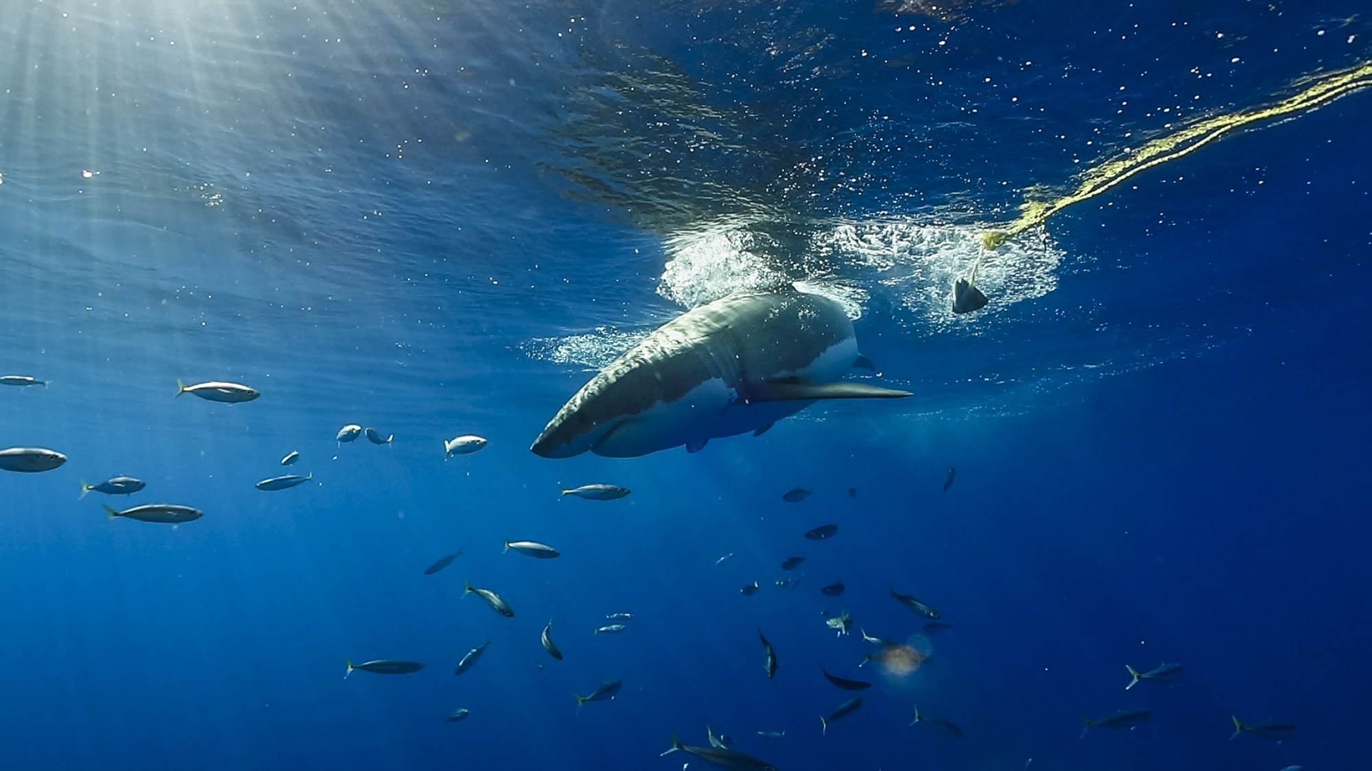 A great white misses the tuna at Guadalupe