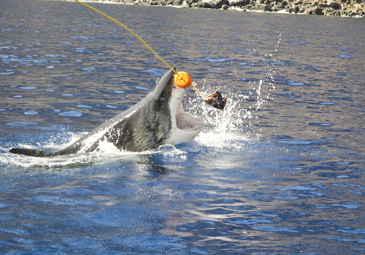 A great white bursts out of the water after the tuna.