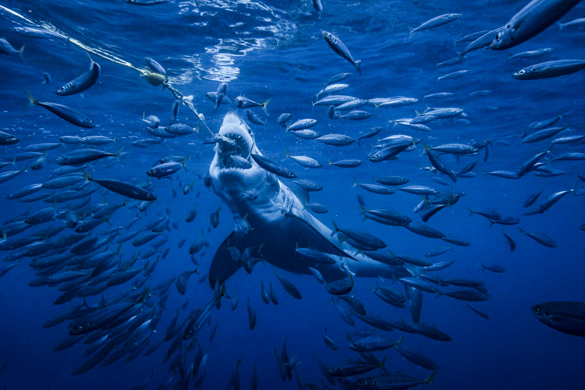 A great white attempts to get the bait at Guadalupe, Photo by Saunders Drukker