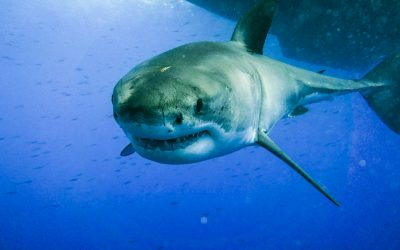 A curious great white swims towards the camera at Guadalupe