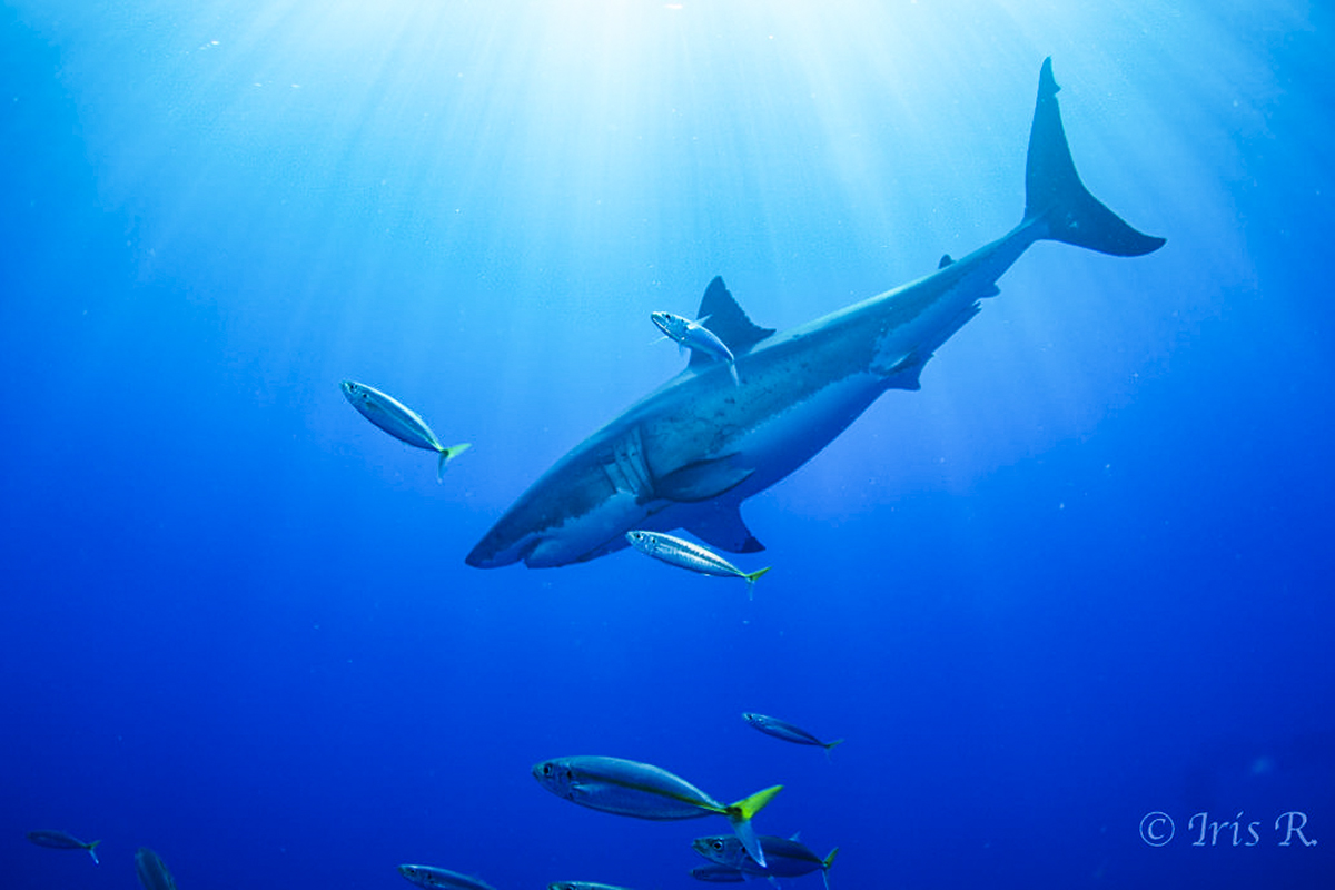 A diving great white. Photo by Iris Rauscher