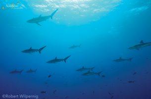 Socorro-école-requin-soie-001