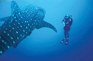 Socorro-requin-baleine-002