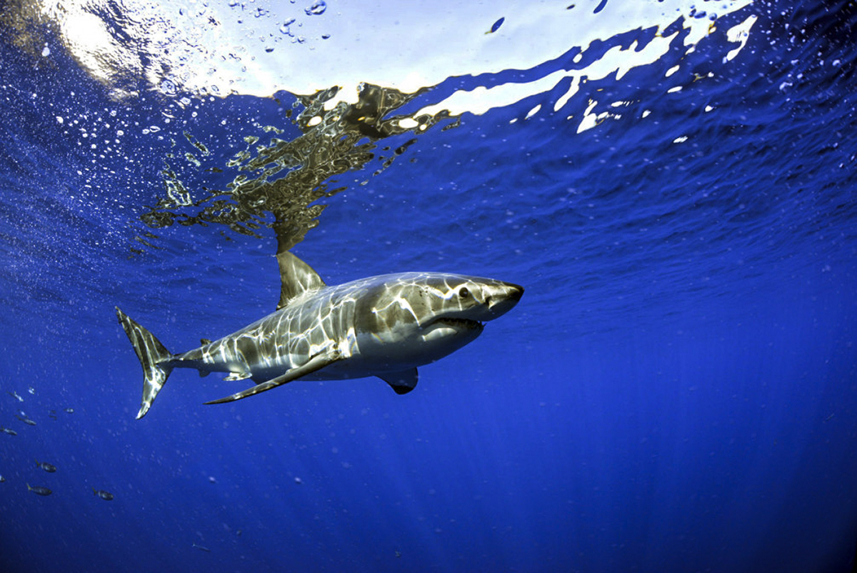 A peaceful great white at Guadalupe. Photo by Alberto Munoz