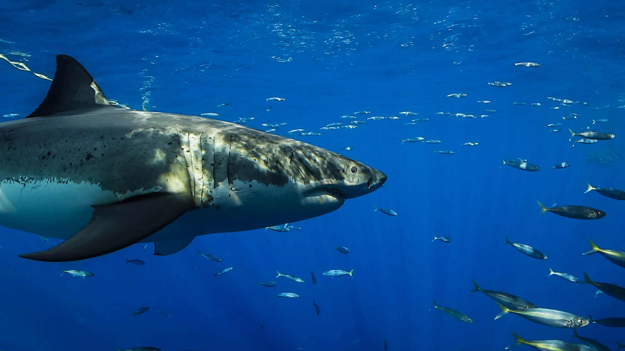 A great white swims by in Guadalupe