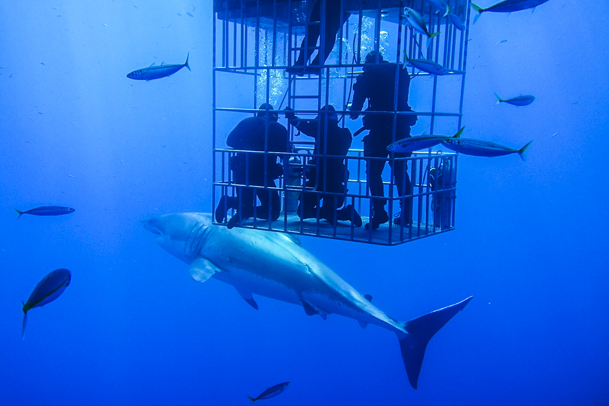 A large great white passes next to a submersible cage in Guadalupe