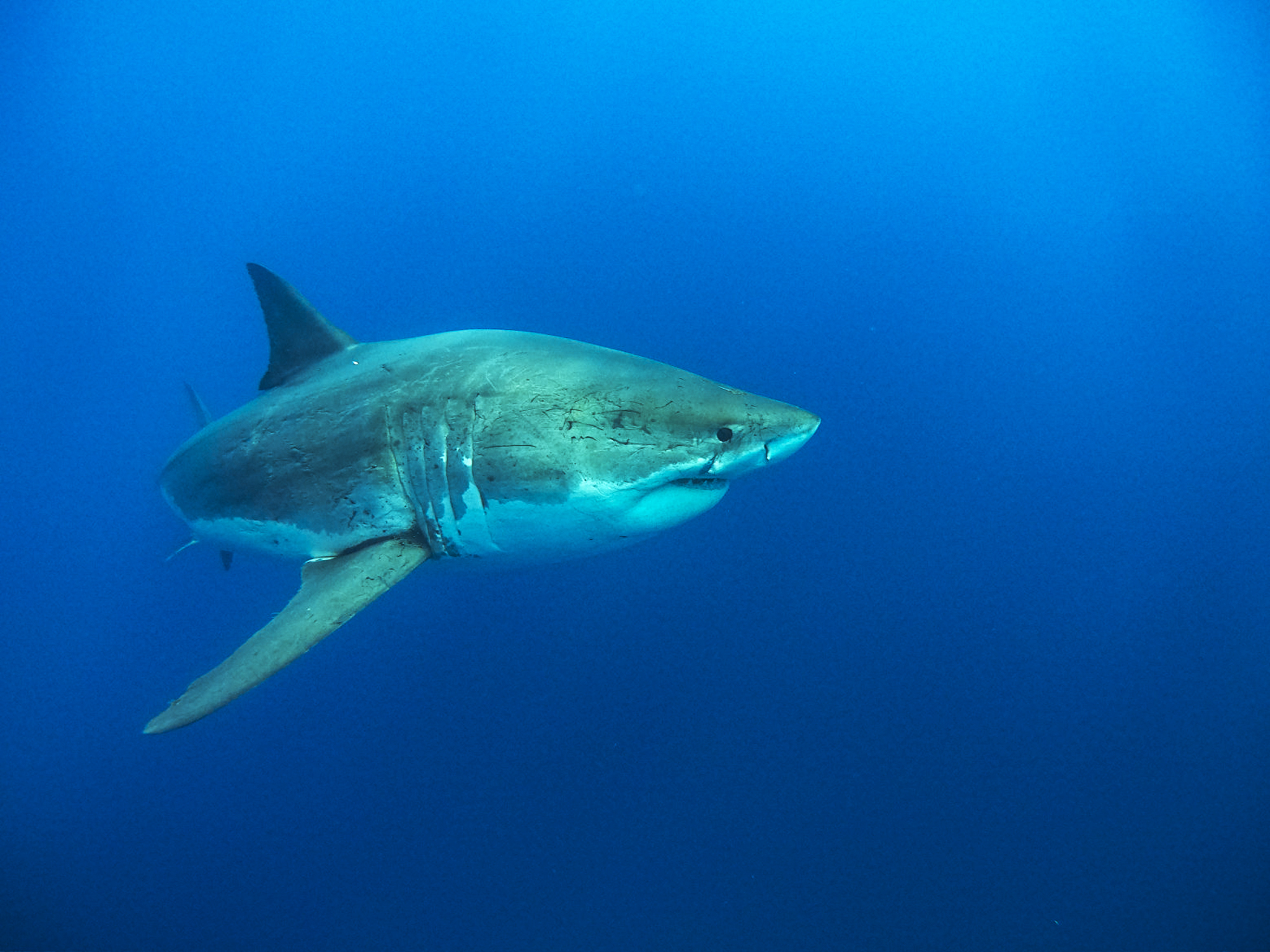 The scars on great whites tell a lot about their mating history
