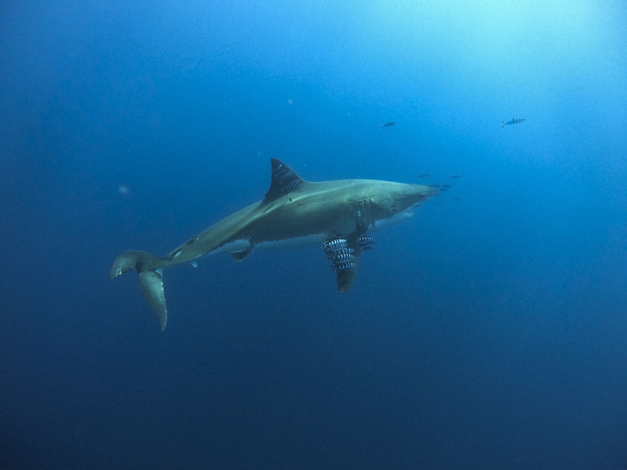 Lucy the great white shark and her pilot fish