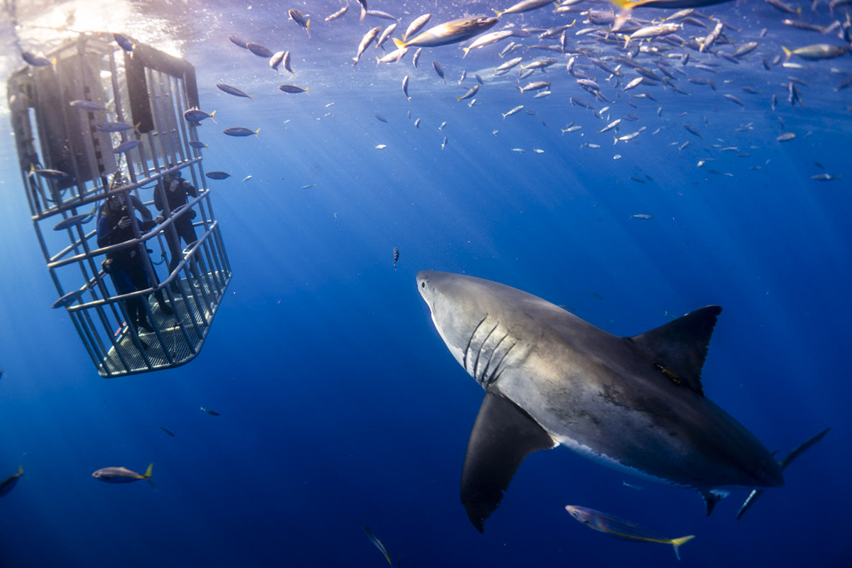 A great white approaches one of our cages. Photo by Lukas Walker