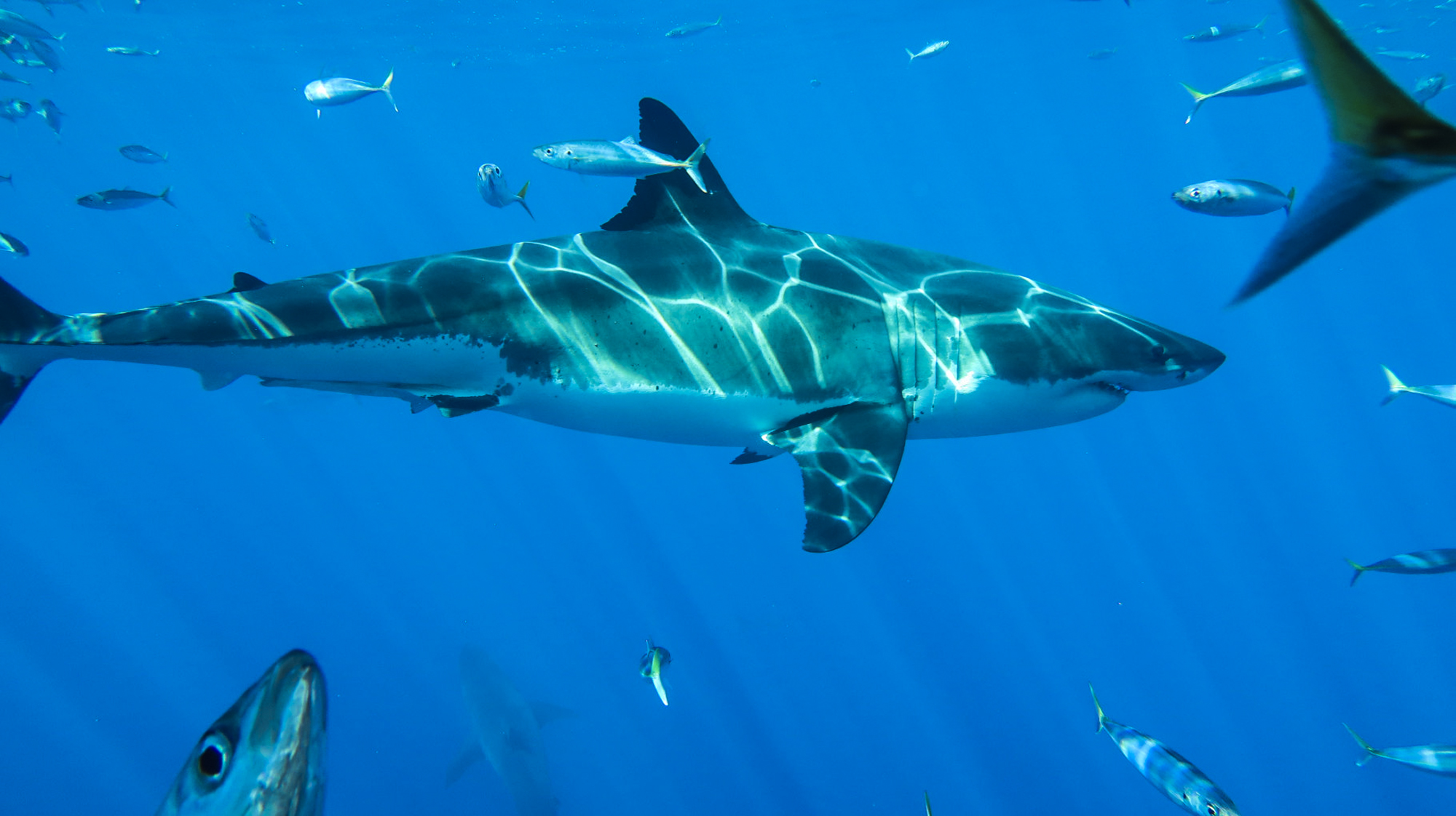 Sharks, tuna and mackerel put on a show at Guadalupe Island