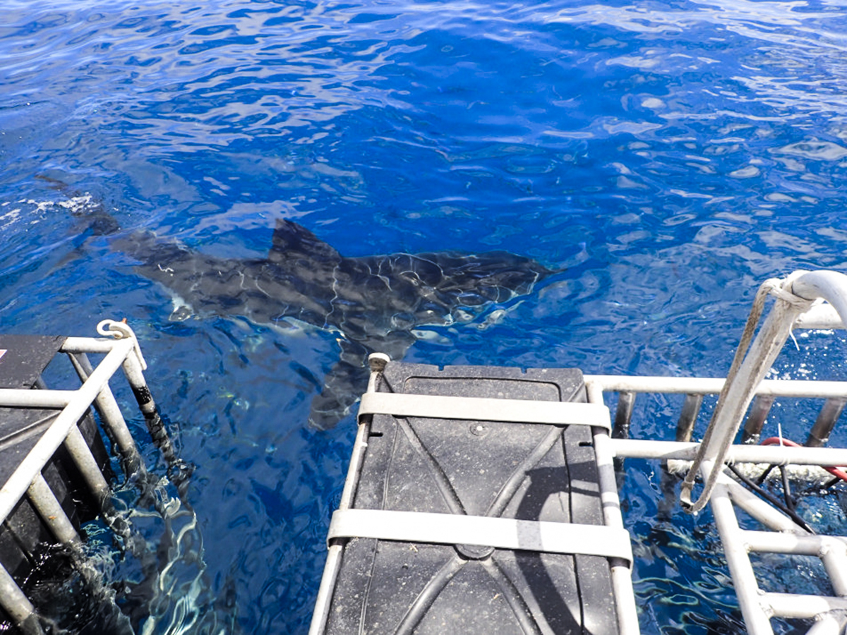 A shark swims next to the surface cages off the dive deck