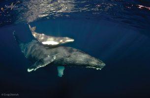 Socorro-baleine à bosse-002