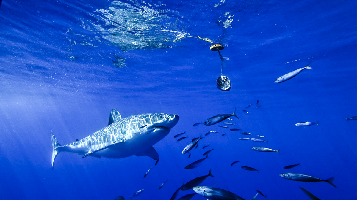 A great white approaches the tuna. Photo by Divemaster Jessie