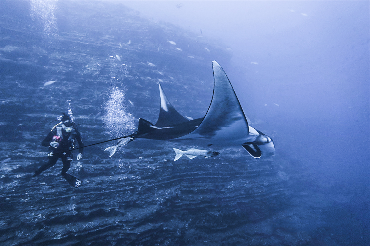 Divemaster Awei swims with a manta. Photo by Silvia Viola