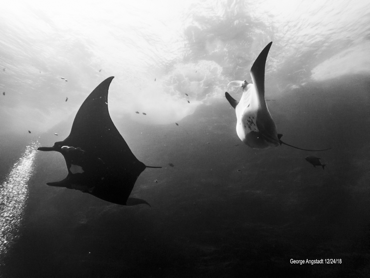 Black and white mantas dance. Photo by George Angstadt