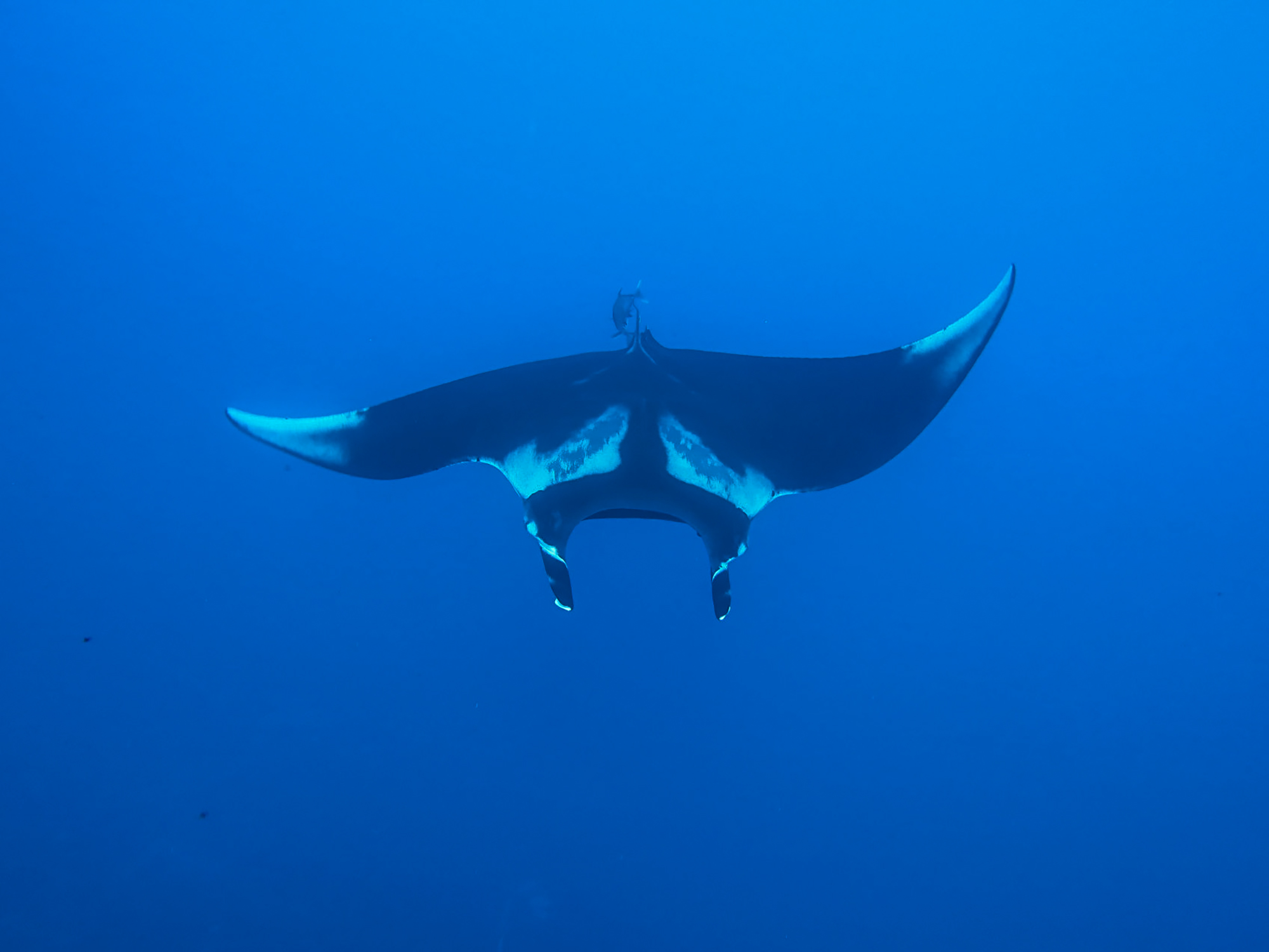 We're so happy to see these beautiful mantas again!