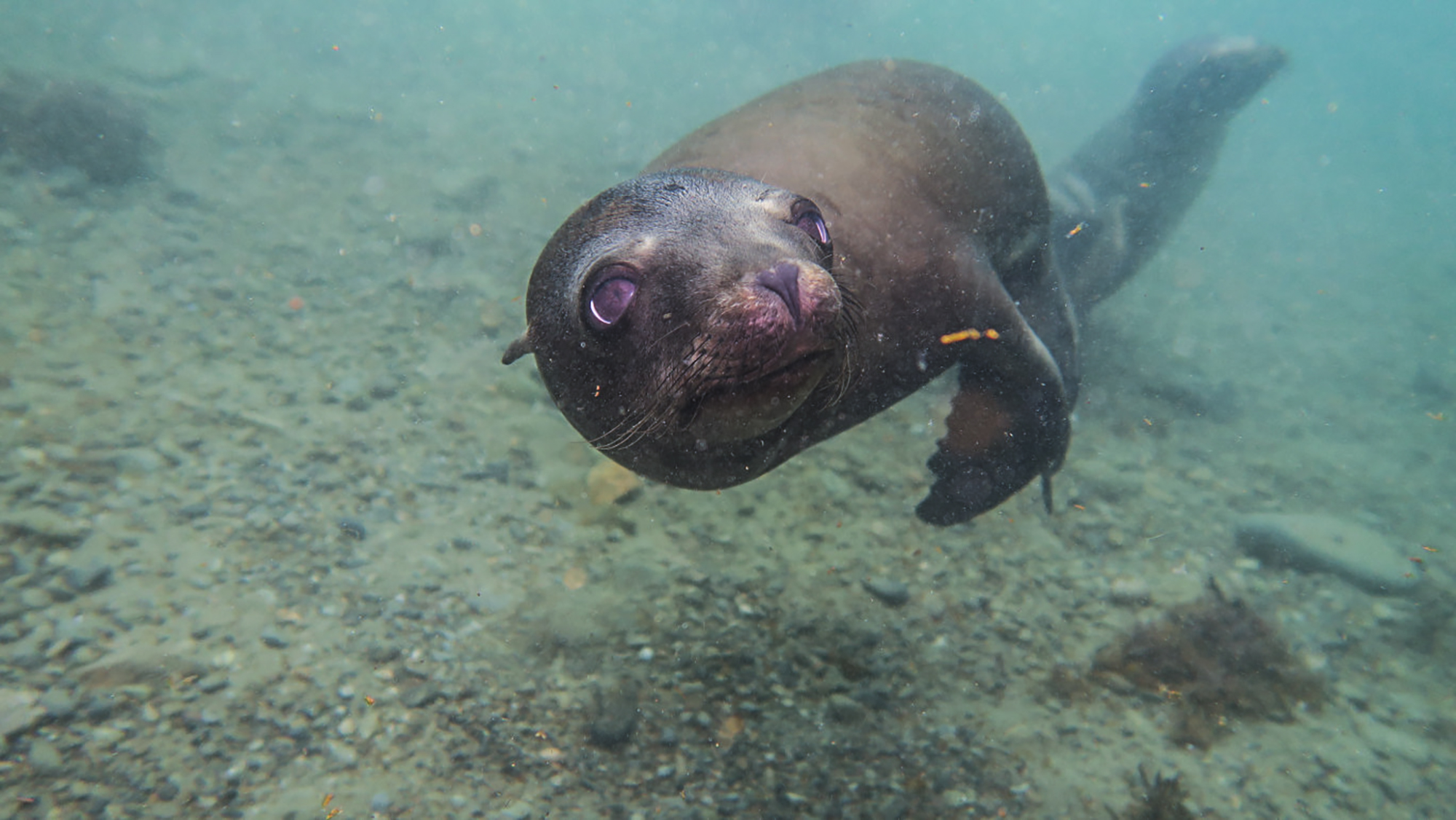 A playful sea lion with beautiful eyes at Cedros Island