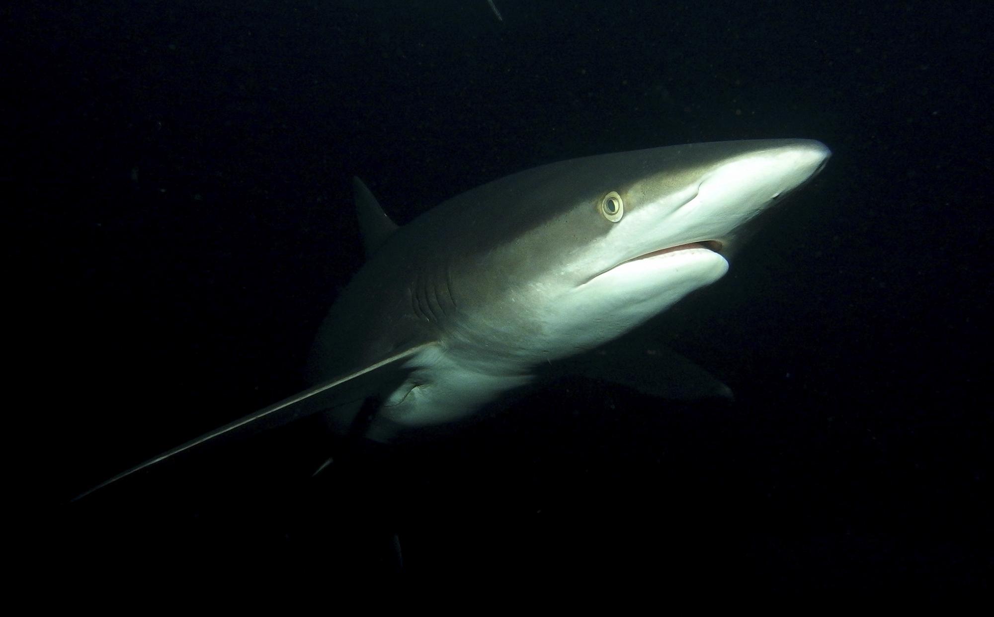 A silky shark at night. Photo by Sandra Haessler