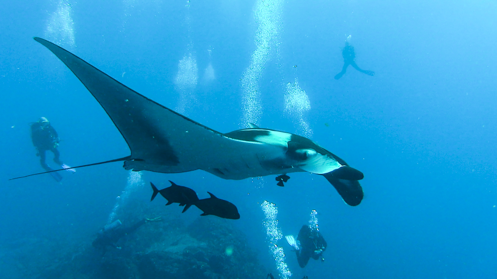 A giant manta flies over divers