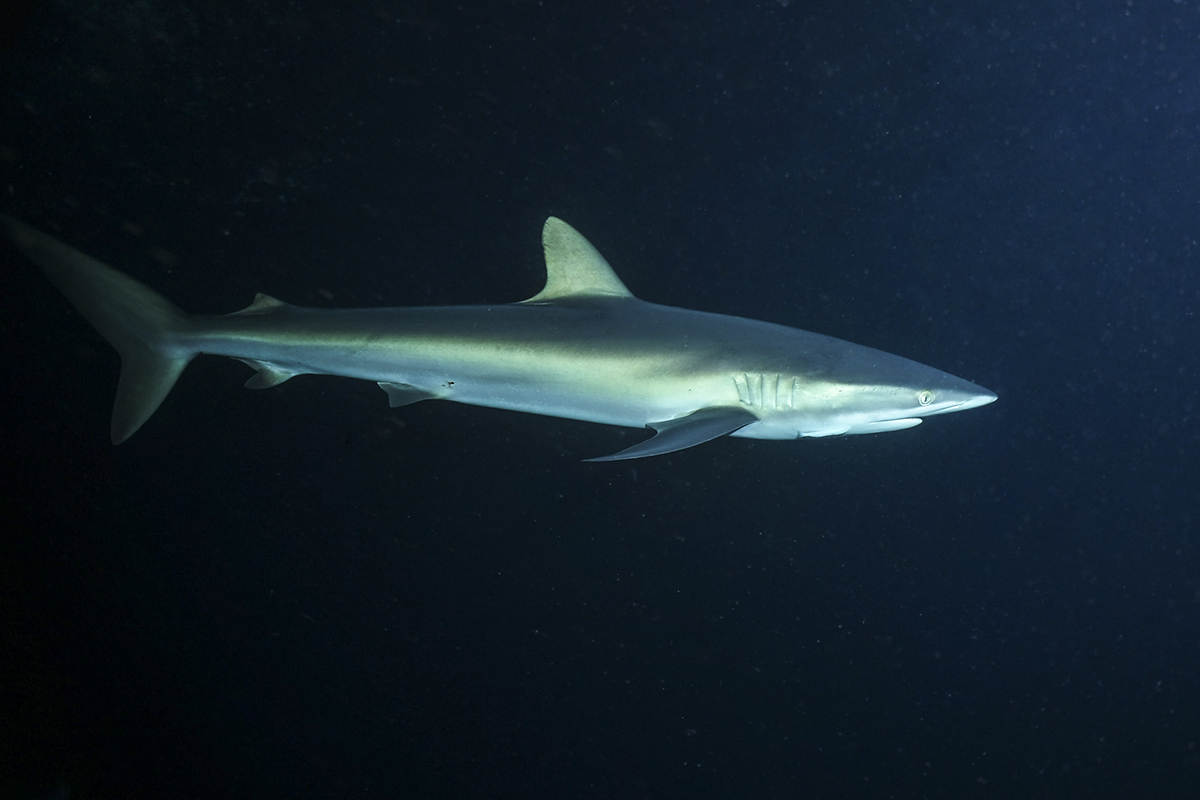 A silky shark cruises past during the night snorkel. Photo by Matthias Vater