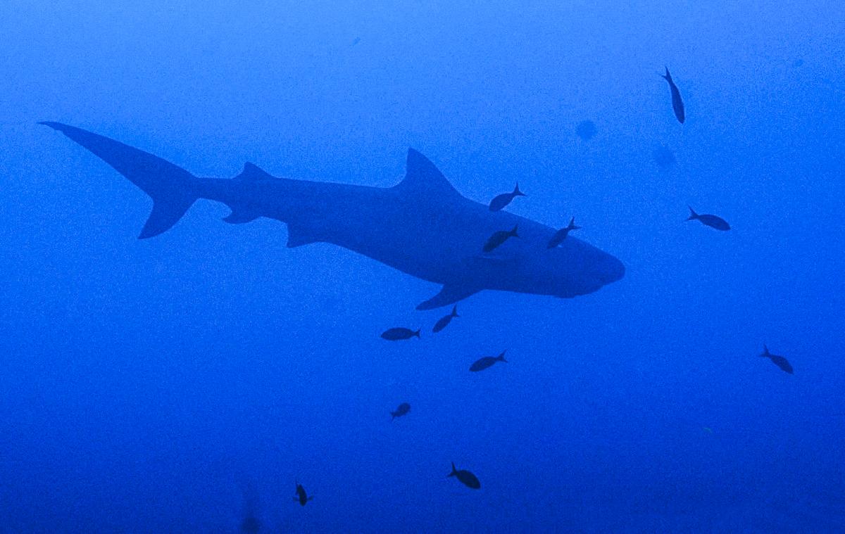 A beautiful shark gliding through the blue. Photo by Simón Bolivar Planeta Agua Photography