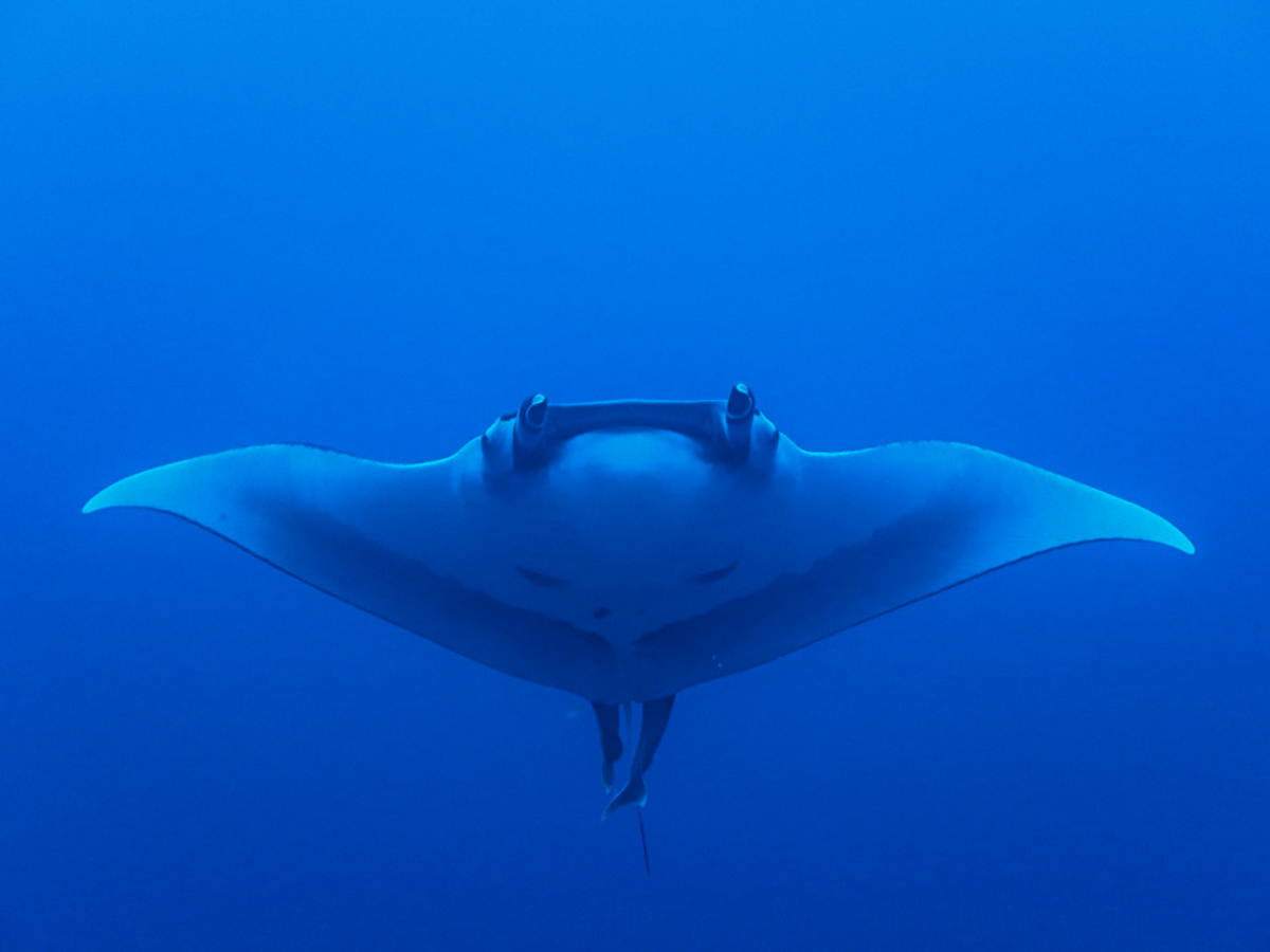A giant manta shows off its impressive wingspan