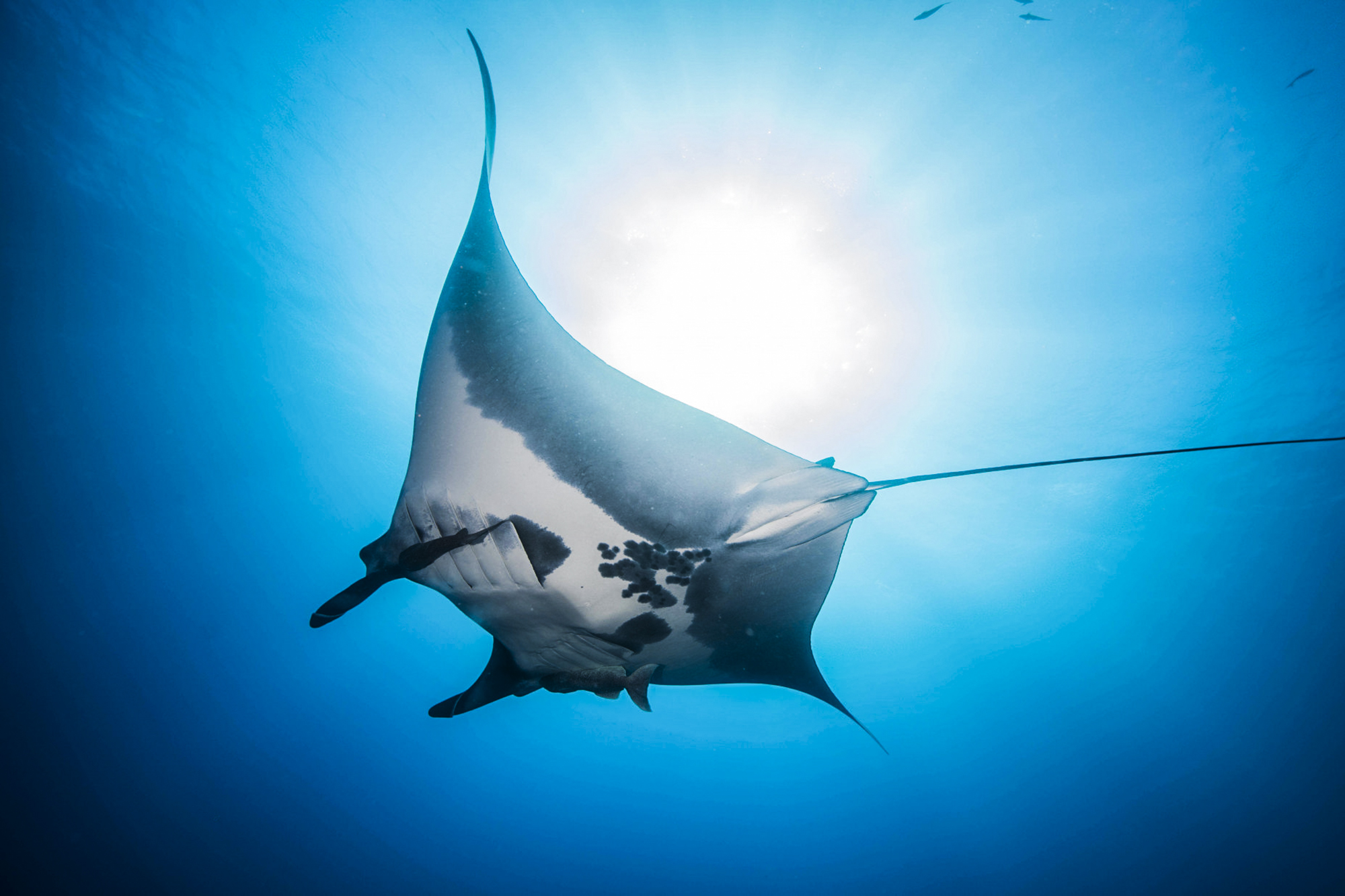 A beautiful manta at Socorro. Photo by Jose Carlos Valenzuela