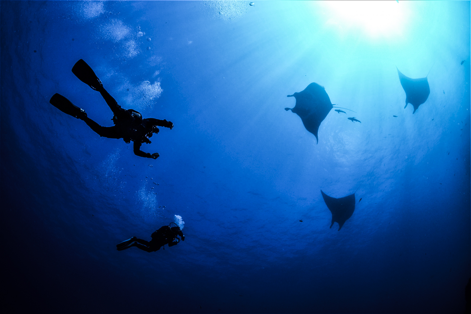 Mantas dance above divers at Socorro. Photo by Kim Nilsson Davidsson