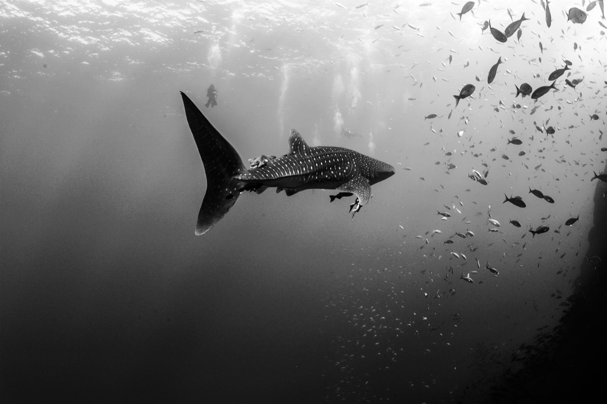 A beautiful whale shark spotted in Socorro. Photo by Kim Nilsson Davidsson