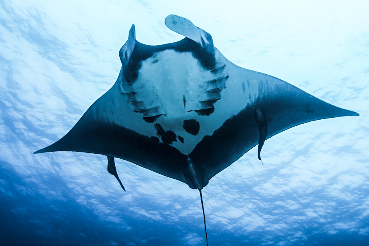 Looking up at a beautiful manta! Photo by Mandy Ng