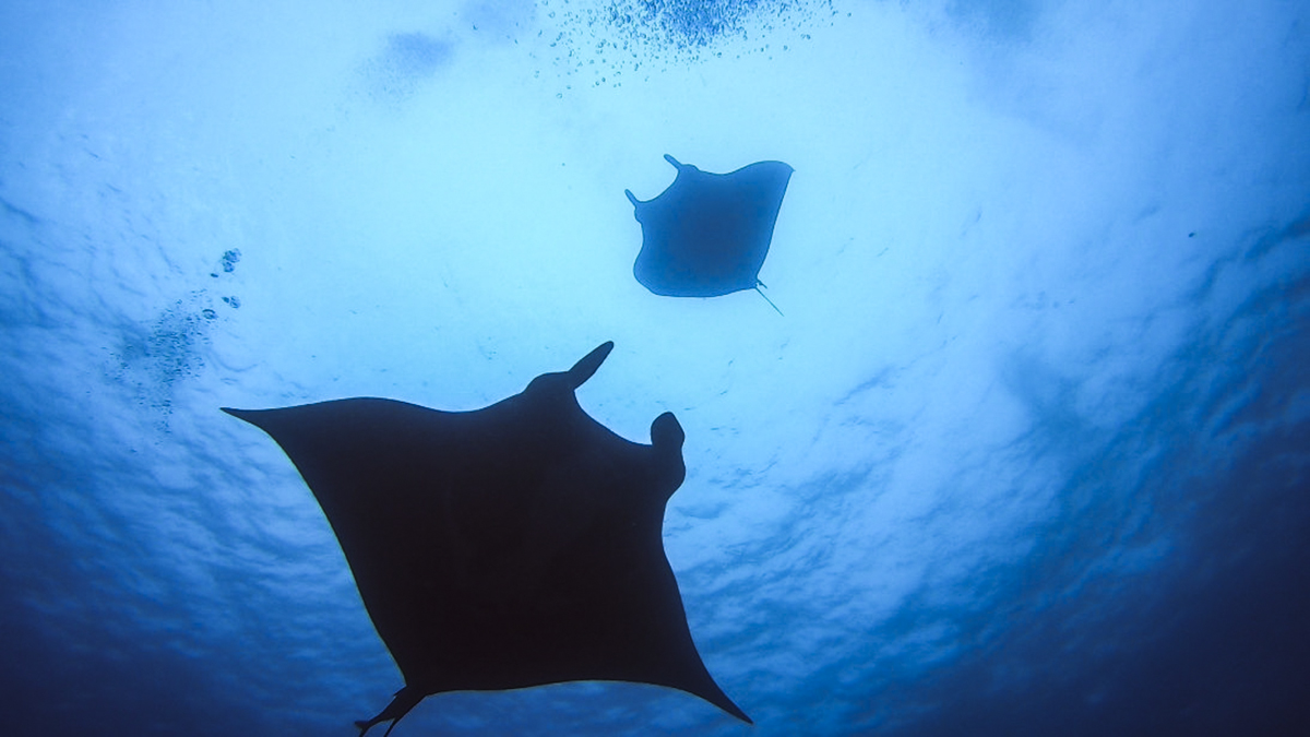 Beautiful mantas play together at Socorro