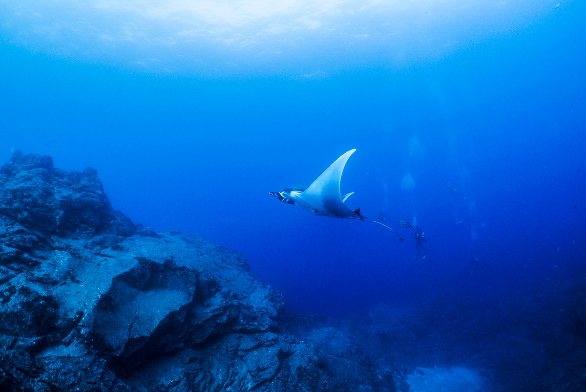A flying manta at Socorro