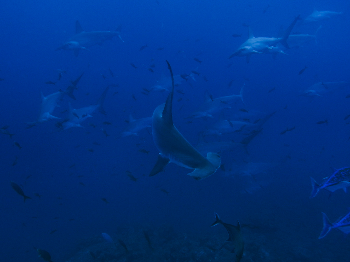 Some schooling hammerheads at Socorro. Photo by Sandra Haessler