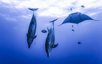 Dolphins and Mantas put on a show at the Boiler. Photo by Divemaster Mirko