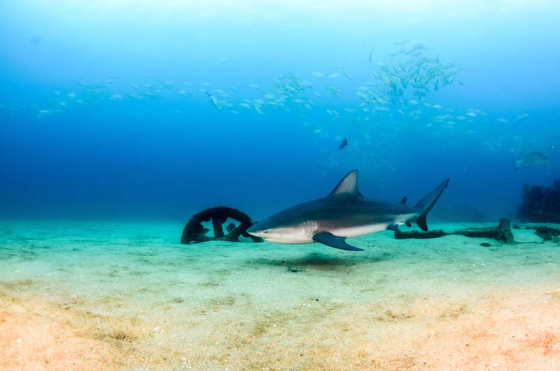 Requins-taureaux de plongée Cabo Pulmo