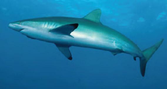 Requin soyeux à San Benedicto