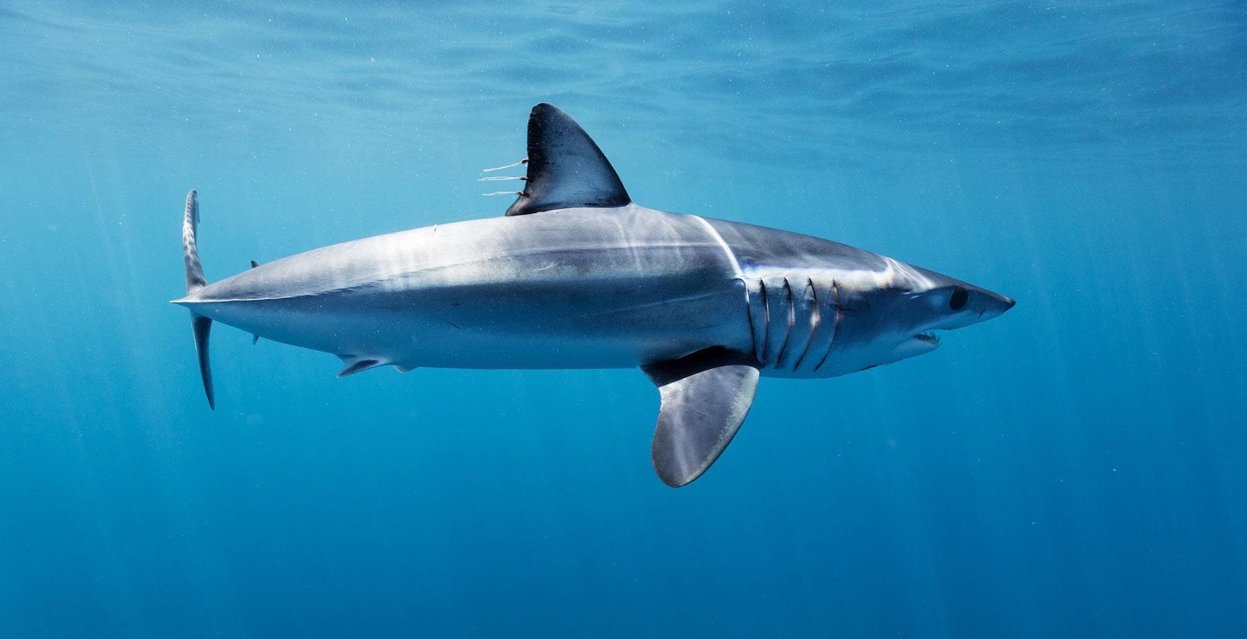 Mako sharks, the Fastest Shark in the World