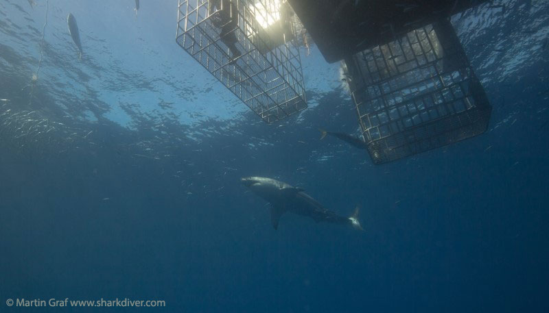 Cage submersible à Guadalupe - Martin Graf